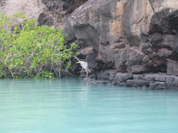 Blue Heron in the blue lagoon