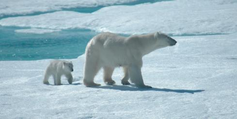 A baby cub follows its mother across the Arctic ice
