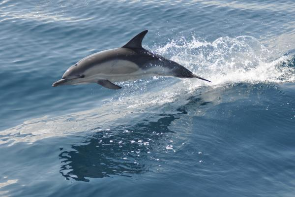 A dolphin jumps out of the water
