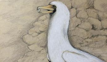 Pencil drawing, Nasca Booby