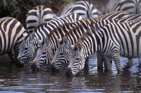 Zebra herd drinking water