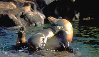 Sea Lions wrestling on shore