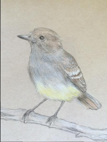 Galapagos Flycatcher, colored pencil