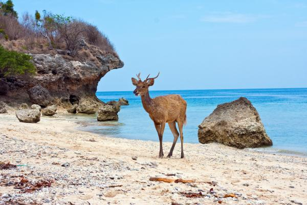 Balinese deer standing on a sandy beach