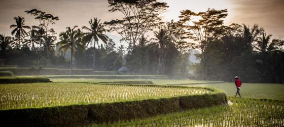 A Balinese farmer checks on his crop