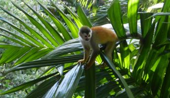 Sneaky squirrel monkey