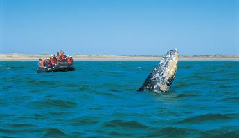 A gray whale spy-hops near the zodiac