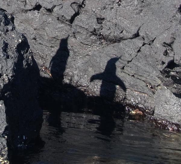 Galapagos Penguin Shadows