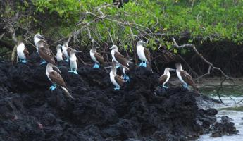 Blue-footed Boobies, Isla Isabela