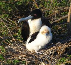 Frigatebird Mother and Chick