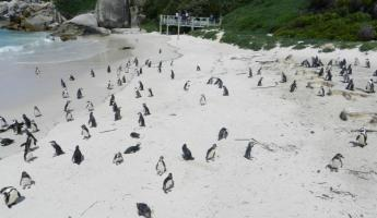 Penguin Colony at Boulder Beach