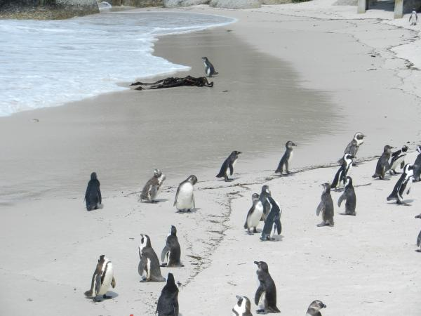 African Penguin colony in at Boulders Beach