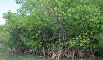 Mangroves in the Bahamas