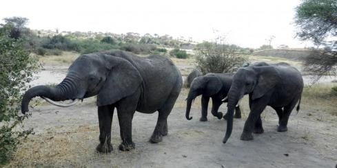 Elephants in Tarangire