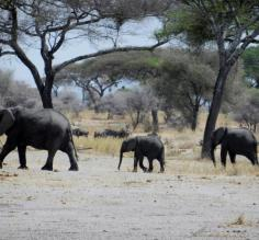 First elephant siting on safari in Tarangire