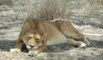 This wounded lioness relaxes in the shade