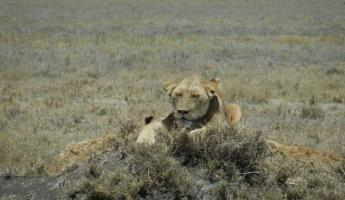 Female lion wearing tracking collar in the Serengeti