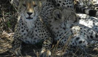 Cheetah family relaxing in the shade