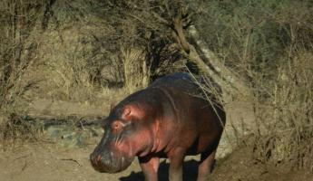 Hippo returning to his watering hole