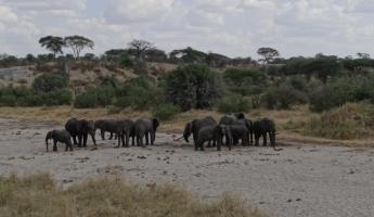 Elephant herd drinking water from the dry river bed