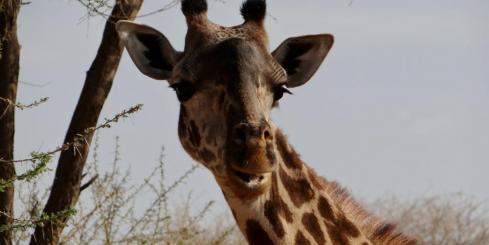 Giraffe in the Serengeti