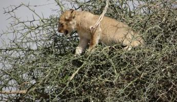 Second time seeing our distressed lion cub in the tree