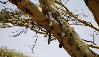 This leopard is taking his afternoon nap