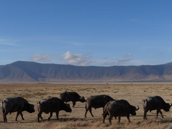 Water buffalo in Ngorongoro Crater