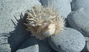 Puffer Fish On the Beach