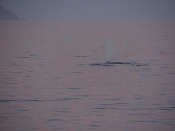 Blue Whale in Baja