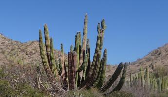 Organ Pipe Cactus Santa Catalina