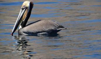 Pelican in Sea of Cortez