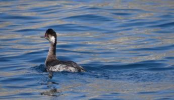 Grebe in Sea of Cortez