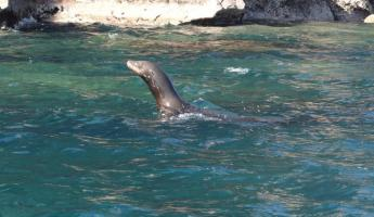 Sea Lion Los Islotes
