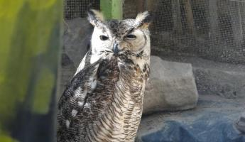 Owl at Serpentarium La Paz