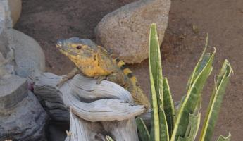 Iguana at Serpentarium La Paz