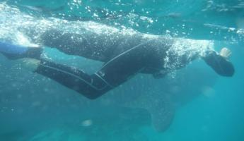 Snorkeling with Whale Sharks near La Paz