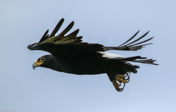Black Eagle Spotted at Gorges Lodge