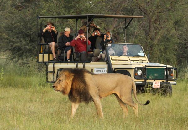 Male Lion on Safari in Zimbabwe