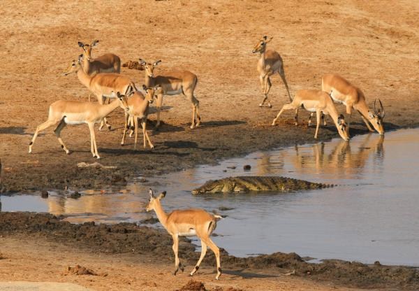 Impala and a Croc at Masumo