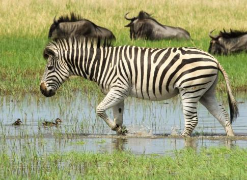 Zebra in wet season