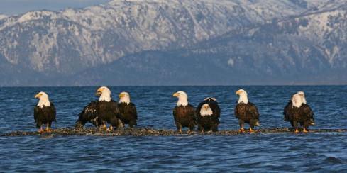 Bald eagles resting