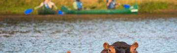 Hippos spying on the paddlers