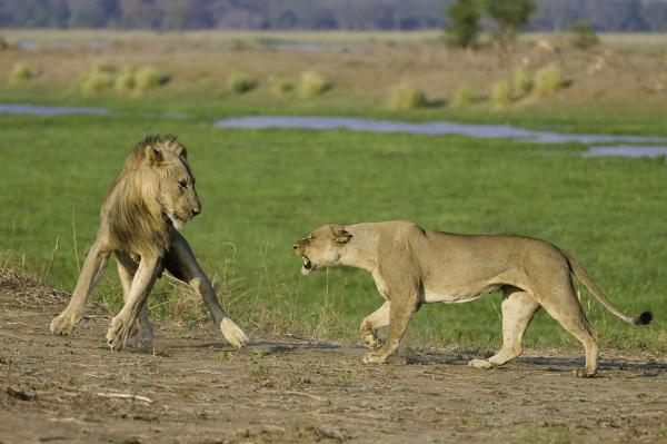 Lions spotted in Mana Pools