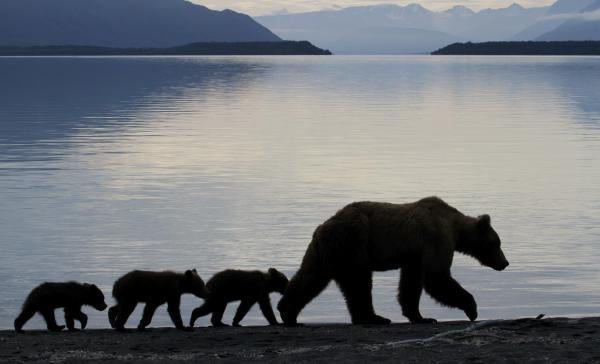 Grizzly bear family along a lake