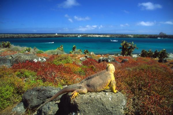 Land iguana looking out over water